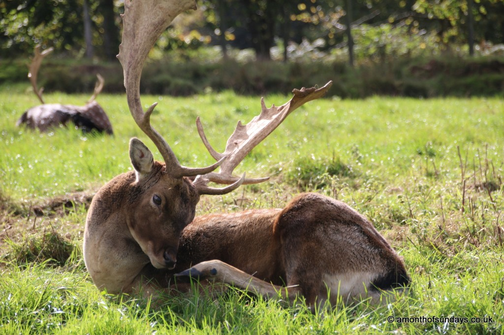Fallow stag scratching