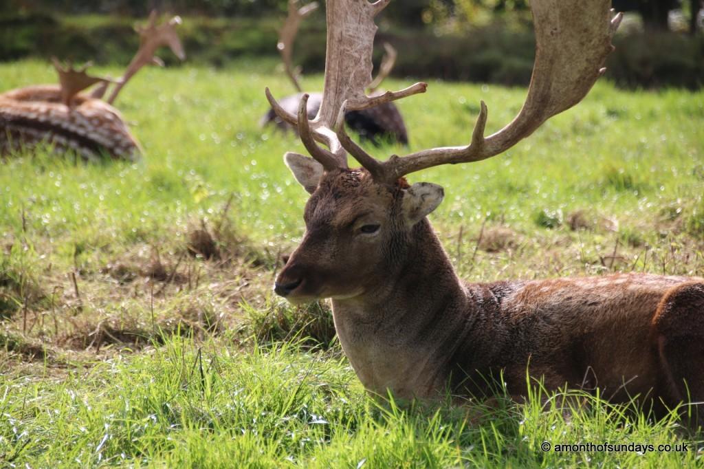 Fallow stag closeup