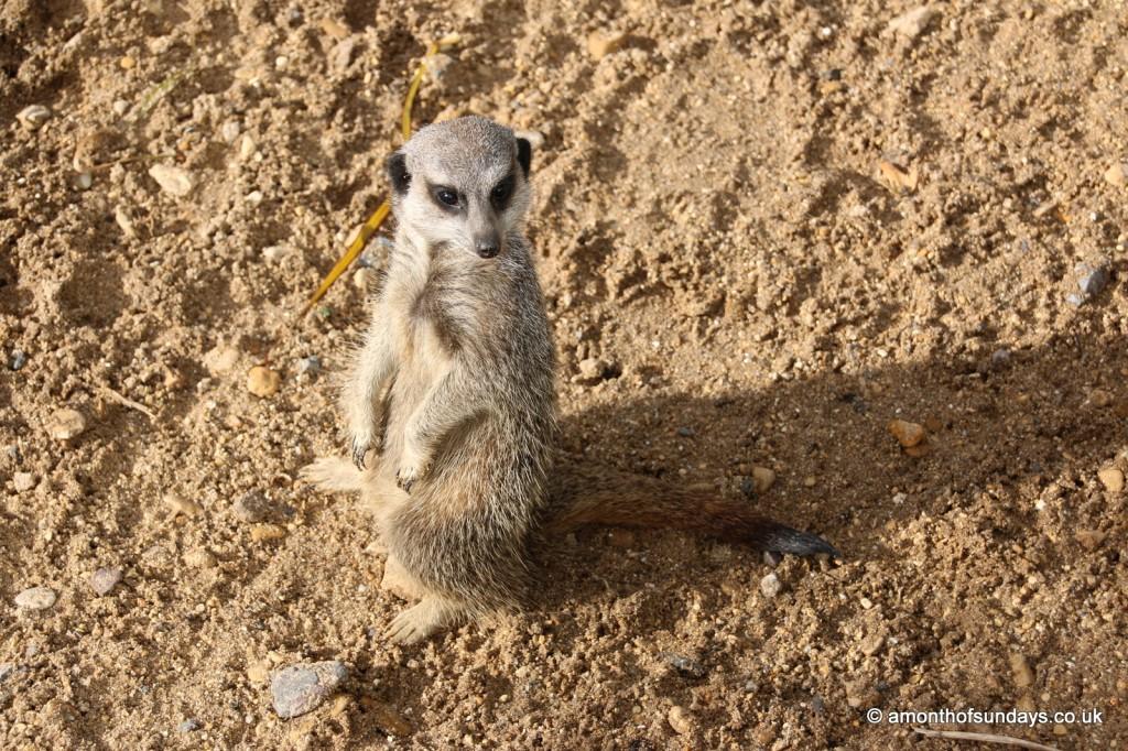 Meerkat at attention