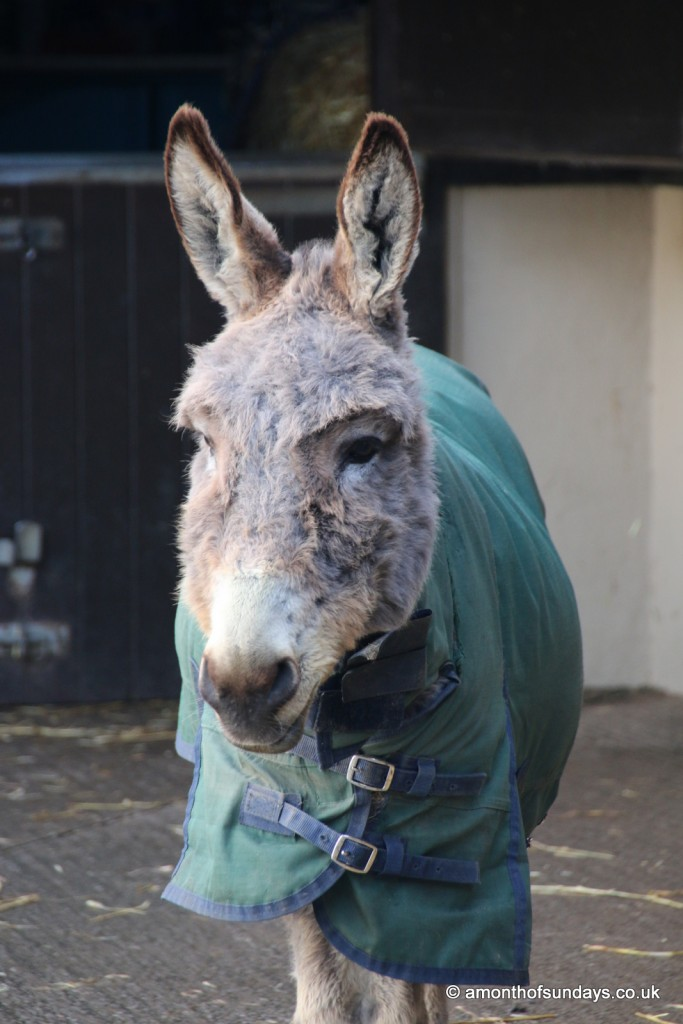 Simon the old donkey