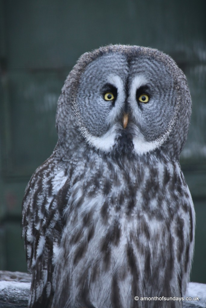 Grey spotted owl