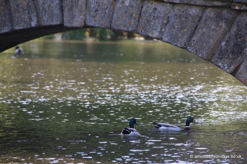 Ducks under bridge at Bourton on the Water