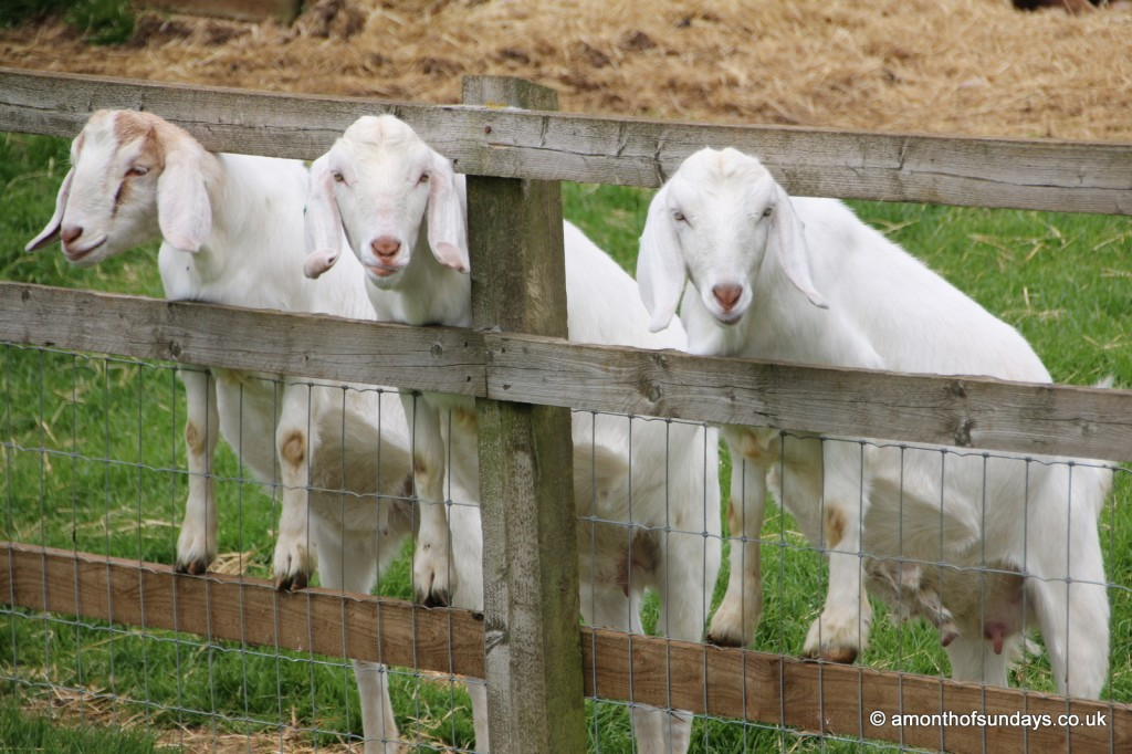 Goats at Cotswold Farm Park