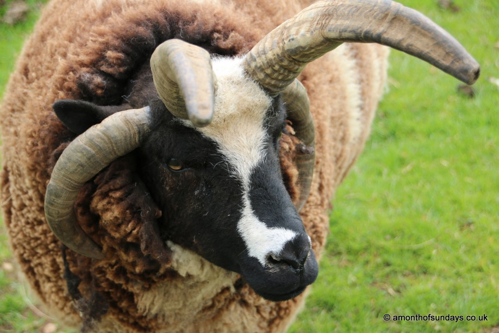Ram at Cotswold Farm Park