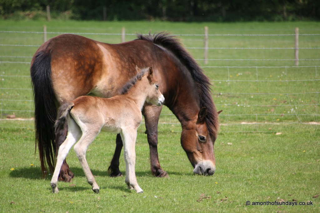 Foal at Cotswold Farm Park