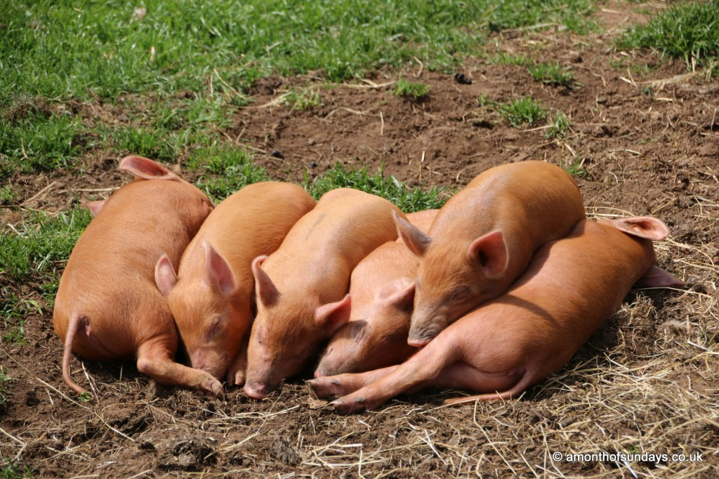 Piglets at Cotswold Farm Park