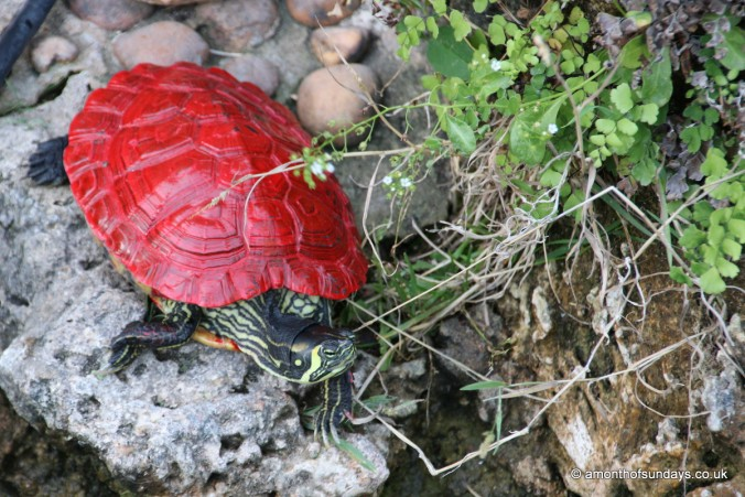 Red terrapin in Tavira