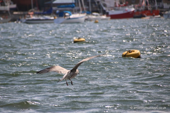 Baby seagull in Fowey