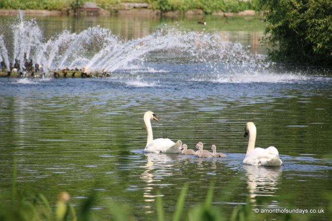 Swans and cygnets in St. James' Park