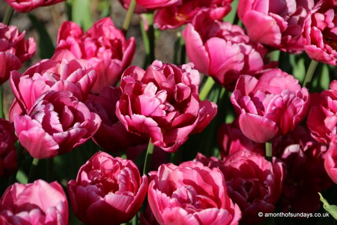 Tulips at Highclere Castle
